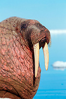 Atlantic walrus, Odobenus rosmarus rosmarus, one of three subspecies of walrus, Odobenus rosmarus, hauling out, basking on ice, near Igloolik, northern Baffin Island, Nunavut, Canada, Foxe Basin, Atlantic Ocean, Arctic Ocean