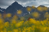Red barn in field of summer wildflowers, Flakstadøy, Lofoten Islands, Norway