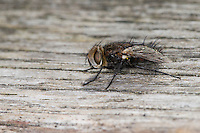 Raupenfliege, Männchen, Gonia picea, Tachinid Fly, male, Tachina fly, Tachinidae, Raupenfliegen, Igelfliegen, Schmarotzerfliegen, tachinids, parasitic flies