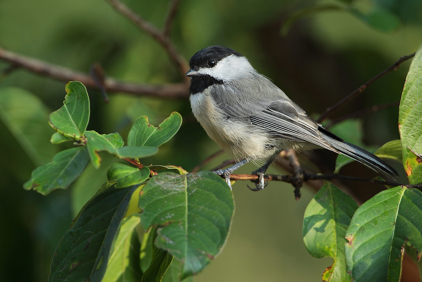 Black-capped Chickadee in summer, myrtle tree setting. They're tiny active birds & have a very cheery-sounding chick-a-dee callnote..