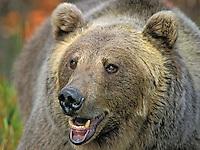 Grizzly Bear (Ursus arctos). Rocky Mountains.