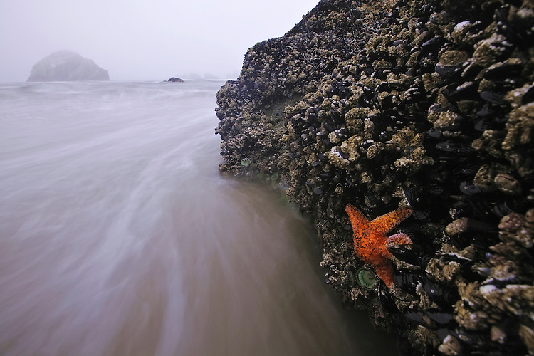 Starfish on mussel-covered rock on the beach in Bandon, Oregon, USA
