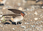 Cliff Swallow (Petrochelidon pyrrhonota) fluttering its wings, coming to muddy puddle to gather mud as nesting material, Mono Lake Basin, California, USA
