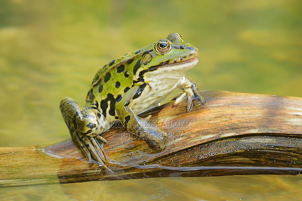 Edible Frog (Rana esculenta), adult on log, Switzerland, Europe