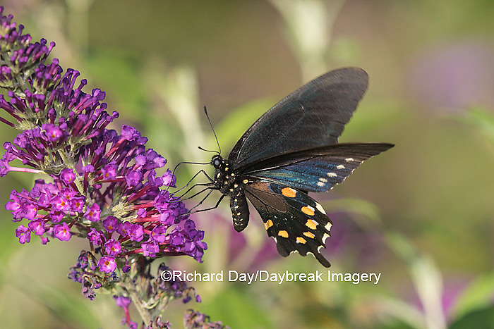03004-01416 Pipevine Swallowtail butterfly (Battus philenor)  male on butterfly bush (Buddleia davidii)  Marion Co., IL