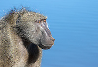 A chacma baboon crosses a bridge in Kruger National Park.