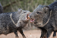 Javelinas fight for corn, Santa Clara Ranch, South Texas
