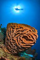 Salvador Dali sponge, Petrosia lignosa, endemic species, Gorontalo, Central Sulawesi, Gulf of Tomini, Indo-Pacific, Indonesia