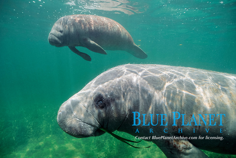 West Indian manatee or Antillean manatee, Trichechus manatus manatus, feeding on turtle grass in seagrass bed, Belize, Caribbean Sea, Atlantic Ocean