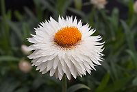 Bracteantha Dreamtime Jumbo White strawflower