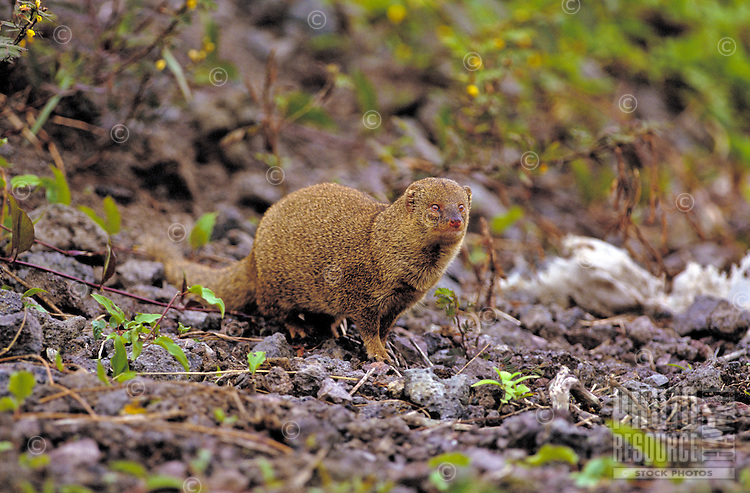 The introduced mongoose, known for eating ground-laying eggs of native birds