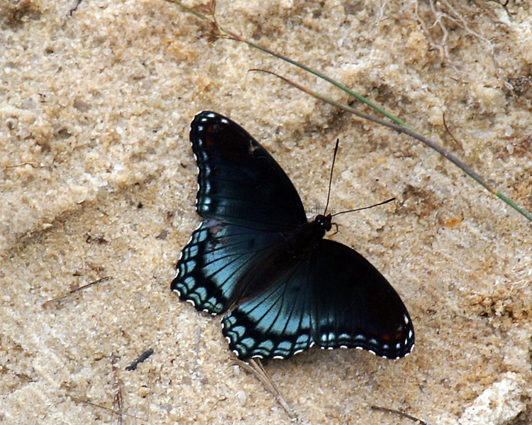 Diana butterfly