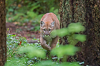 Mountain Lion or cougar (Puma concolor) stalking.   West slope Cascade Mountains of Washington.  Fall.