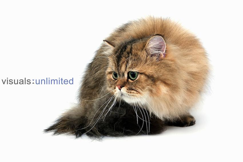 Golden Persian Domestic Cat.