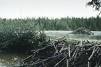 Biber, Burg eines Bibers, Biberburg, Biber-Burg, und Damm, Biber-Damm, Biberdamm im Vordergrund, Castor fiber, European beaver, Castor d´Europe