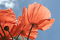 Red poppy blooms from underneath facing blue sky