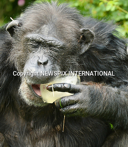 20.06.2017; Whipsnade Zoo, England: N-ICE TREATS FOR CHIMPS!<br /> With temperatures soaring into the 90s in the current heatwave that is sweeping the country, chimps at Whipsnade Zoo enjoy fruit filled frozen treats to help keep them cool.<br /> Mandatory Credit Photo: NEWSPIX INTERNATIONAL<br /> <br /> IMMEDIATE CONFIRMATION OF USAGE REQUIRED:<br /> Newspix International, 31 Chinnery Hill, Bishop's Stortford, ENGLAND CM23 3PS<br /> Tel:+441279 324672  ; Fax: +441279656877<br /> Mobile:  07775681153<br /> e-mail: info@newspixinternational.co.uk<br /> *All fees payable to Newspix International*