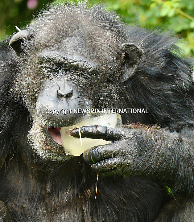 Heatwave: N-Ice Treats For Chimps
