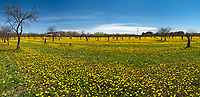 A fallow cherry orchard now sprouts a bumper crop of dandelions, Door County, Wisconsin