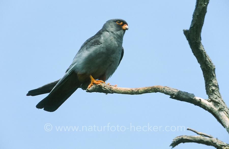 Rotfußfalke, Männchen, Falken, Falke, Falco vespertinus, red-footed falcon, western red-footed falcon, male, Le Faucon kobez