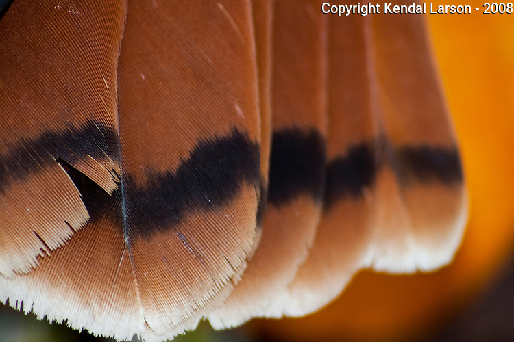 Redtail hawk tail feathers.