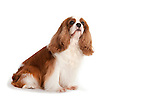 Cavalier King Charles Spaniel Dog, Sitting, Studio, White Background