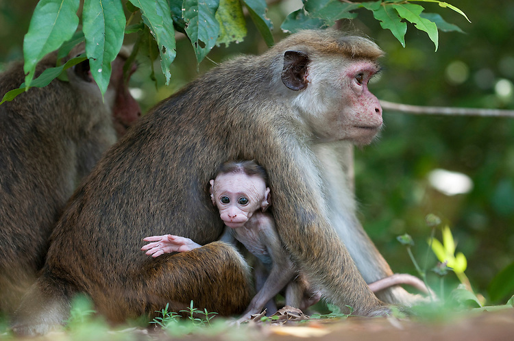 A toque macaque mother sits with her 4 week old infant, archaeological reserve, Polonnaruwa, Sri Lanka. IUCN Red List Classification: Endangered