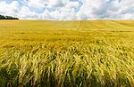 Field of barely crop growing in sloping hillside field,  Little Blakenham, Suffolk, England, UK
