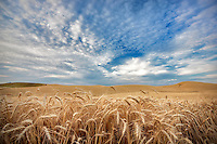 Wheat field and clouds. The Palouse, Washington