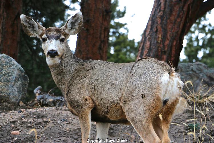 Mule Deer RMNP