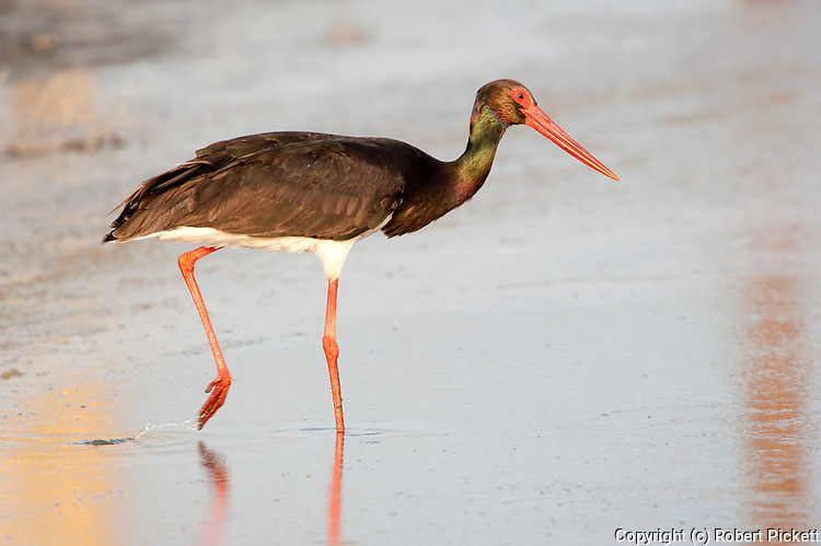 Black Stork, Ciconia nigra, Lesvos Island, Kalloni Salt Pans, Greece, wading in water, fishing, summer visitor , lesbos