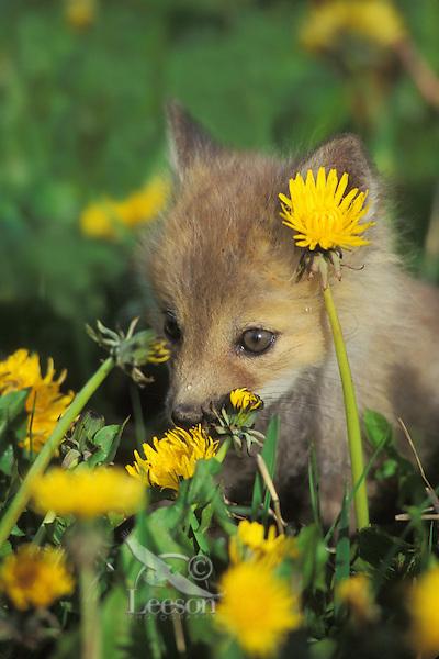 Red fox pup (Vulpes vulpes) in dandelions.