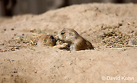 0601-1014  Young Black-tailed Prairie Dog Pups Wrestling, Cynomys ludovicianus  © David Kuhn/Dwight Kuhn Photography
