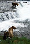 Female Alaskan brown bear sits on the bank with her cub while another bear fishes in the falls