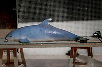 vaquita, Phocoena sinus, critically endangered species, endemic to the northernmost portion of the Sea of Cortez, Gulf of California, Mexico, Pacific Ocean