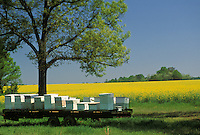 Bee boxes with hives are placed near the blooms, rapeseed, and managed from the field