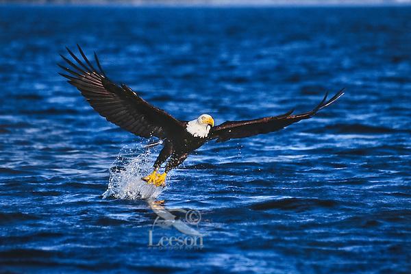 Bald eagle (Haliaeetus leucocephalus) catching rainbow trout.