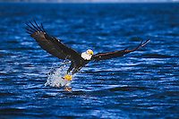 Bald eagle (Haliaeetus leucocephalus) catching rainbow trout.