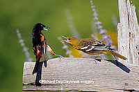 01618-00405 Orchard Oriole (Icterus spurius) male & immature Baltimore Oriole (Icterus galbula) fighting/aggression Marion Co. IL