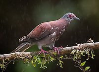 A Pale-vented pigeon approaches a feeding station during a light rainfall.