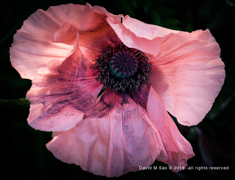 6.2.18 - Peach Poppy 3....