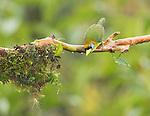 Female red-headed barbet, Eubucco bourcierii. Tandayapa Valley, Ecuador