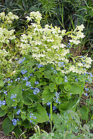 Helleborus foetidus + Brunnera macrophylla, both in bloom