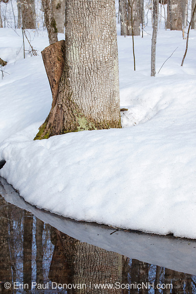 Snow covered forest in the White Mountain National Forest along the Kancamagus Highway in New Hampshire USA during the spring months