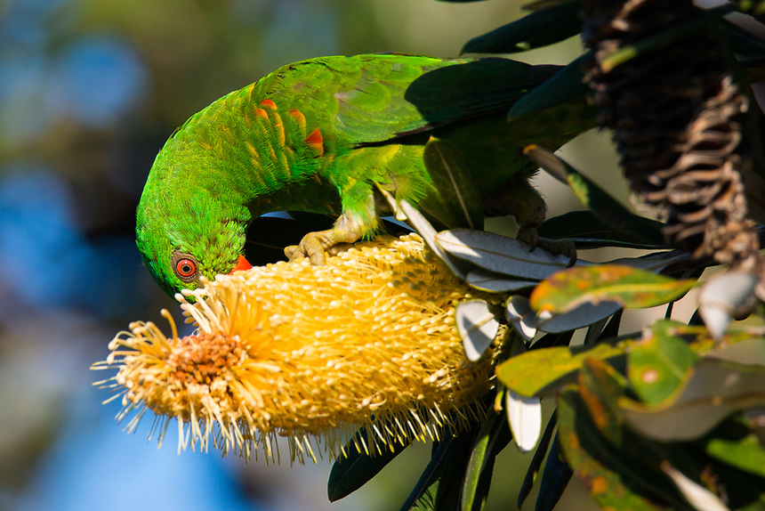 Scaly-breasted Lorikeet, Ballina, New South Wales