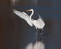Great Egret, Inks Dam Fish Hatchery, Texas