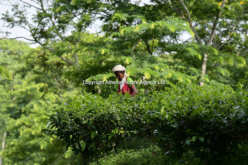 Pictured: Women collecting tea leaves at Durgabari tea estate near the city of Agartala, state of Tripuna, India<br /> Re: Its Durgabari tea garden.Durgabari tea estate is one of the most famous tea plantations in the Indian state of Tripura. Located at Bamutia in West Tripura, this tea estate offers a breathtaking view of sprawling green landscape which spreads over 30 acres of land. It is 12 km far from Agartala city.<br /> Tea gardens were first established in Tripura in 1916 and Tripura ranks fifth among the fourteen tea producing states in the country.