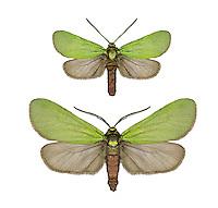 Scaarce Forester - Jordanita globulariae<br /> 54.001 BF165
