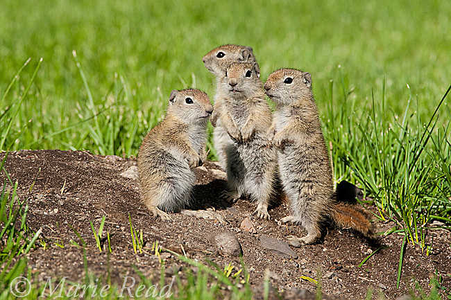 Belding's Ground Squirrels (Spermophilus beldingi), four youngsters standing on the entrance of their burrow in a park lawn, Mono Lake Basin, California, USA