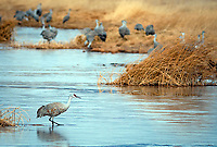 March 21, 2018: A timid sandhill crane looks for a water crossing in the National Wildlife Refuge fields and wetlands. Each spring, as many as 27,000 sandhill cranes migrate through Colorado's San Luis Valley and the Monte Vista National Wildlife Refuge, Monte Vista, Colorado
